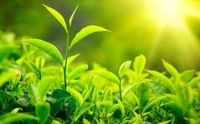 ceai-verde2